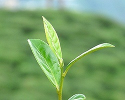 darjeeling_tea_leaves_Partha_Sahana