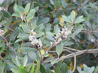 330px-Osmanthus_heterophyllus1